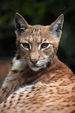 Carpathian lynx (Lynx lynx carpathica). Stock Photo