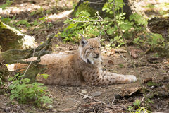 Carpathian lynx Lynx lynx carpathicus, live secretly in European forests Royalty Free Stock Photography