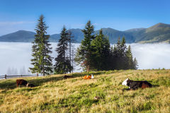 Carpathian Mountains. Cows lie on the slopes under. Royalty Free Stock Images