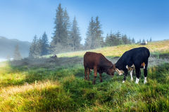Carpathian Mountains. Cows lie on the slopes under. Stock Photos
