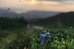 Carpathian Mountains. Flying fly against the backdrop of the setting sun and a flower bell Stock Image