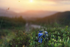 Carpathian Mountains. Flying fly against the backdrop of the setting sun and a flower bell Royalty Free Stock Photography