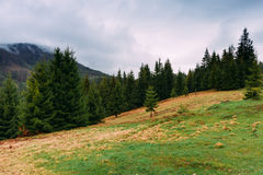 Carpathian Mountains. Landscape with firs on a cloudy day. Ukrai. Ne. April 2017 Royalty Free Stock Images