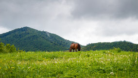 Carpathian mountains, before rain. horse grazing in the meadow. Stock Image