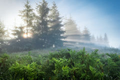Carpathian Mountains. The rays of the rising sun streaming through the trees. Royalty Free Stock Image