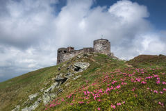 Carpathian Mountains. Rhododendron blooming on the hillside overlooking the observatory Royalty Free Stock Photo