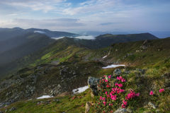 Carpathian Mountains. Rhododendron blooming on the hillside Stock Image