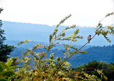 Carpathian mountains and a tiny sparrow. Just a small sparrow against the background of huge and majestic blue hills of Carpathians stock photography