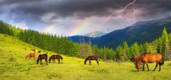 Carpathian mustangs in Gorgany Royalty Free Stock Photo