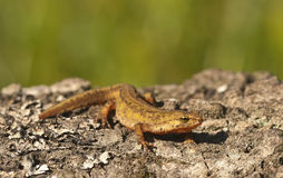 Carpathian newt Royalty Free Stock Image
