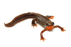 Carpathian newt (Lissotriton montandoni) on white Royalty Free Stock Image