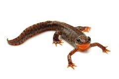 Carpathian newt (Lissotriton montandoni) on white Royalty Free Stock Image