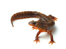 Carpathian newt (Lissotriton montandoni) on white Royalty Free Stock Images