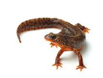Carpathian newt (Lissotriton montandoni) on white Royalty Free Stock Images