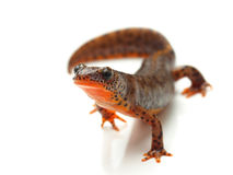 Carpathian newt (Lissotriton montandoni) on white Stock Photos