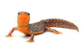 Carpathian newt (Lissotriton montandoni) on white Stock Image