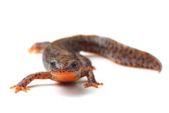 Carpathian newt (Lissotriton montandoni) on white Stock Photography