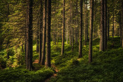 Carpathian pine forest in sunlight Royalty Free Stock Photo