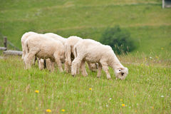 The Carpathian scenery. Lambs pasturing on a hill Stock Photo