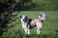 Carpathian sheep dog Stock Image