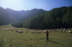 Carpathian shepherd Royalty Free Stock Photos