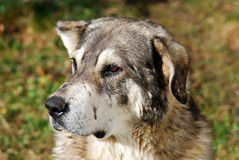 Carpathian shepherd dog. Relatively large-sized dog, agile, never heavy, the general appearance being that of a vigorous dog Stock Image