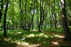 Carpathian skog som från inre ses i det löst av de ukrainska bergen Buskar och träd i skuggor med den ljusa enkla solen rays arkivfoton