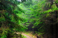 In the Carpathian spruce forest in the rain Stock Image