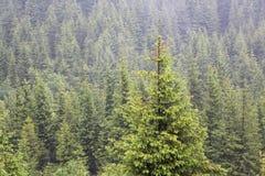 Carpathian spruce Royalty Free Stock Photography