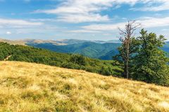 Carpathian sub alpine meadows in august. Beautiful mountain landscape. primeval beech forest on the edge of a hill. sunny weather with cloud formations on the royalty free stock photos