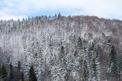 Carpathian Tree Forest In Winter Stock Photography