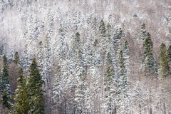 Carpathian Tree Forest In Winter Royalty Free Stock Images
