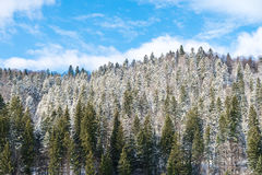 Carpathian Tree Forest In Winter Royalty Free Stock Photography
