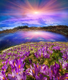 The Carpathian valleys grow beautiful alpine flowers Royalty Free Stock Images