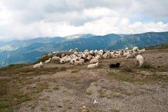 carpathians绵羊 免版税库存照片