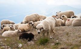 carpathians绵羊 免版税图库摄影