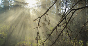 carpathians ελαφρύ λάμποντας δάσος της Ουκρανίας δέντρων ήλιων απόθεμα βίντεο
