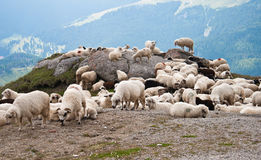carpathians πρόβατα Στοκ φωτογραφίες με δικαίωμα ελεύθερης χρήσης