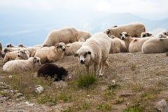 carpathians πρόβατα στοκ εικόνες