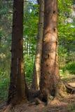carpathians tre trees Sol och skuggor Royaltyfri Foto
