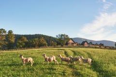 Carpathiens, Ukraine Voyage dans les montagnes Augmentant concept de mode de vie de voyage le belles les montagnes aménagent en p Photo libre de droits