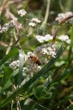 Carpatians bee flower Stock Photography
