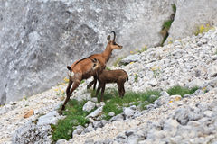 carpatica羚羊rupicapra 免版税库存图片