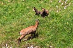 carpatica羚羊rupicapra 库存照片