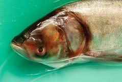 Carpe argentée de poissons dans l'eau Images stock