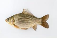 Carpe d'argent de poissons vivants Image libre de droits