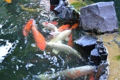 Carpe dans une nature d'étang Photographie stock libre de droits