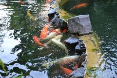 Carpe dans une nature d'étang Photos libres de droits