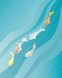 Carpe de Koi dans l'eau bleue Photo libre de droits