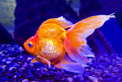 Carpe de poisson rouge Image stock